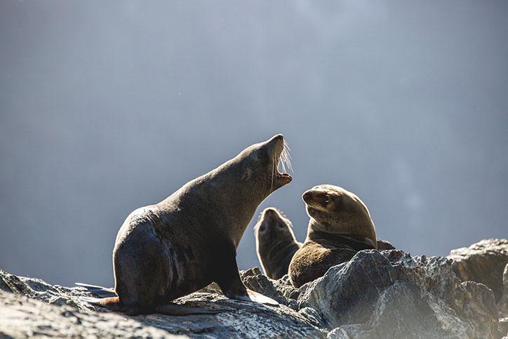 milford_scenic_seals